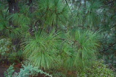 ILCE-7RM2 • 15mm • f8 • ISO1250 • Pinus Canariensis.jpg