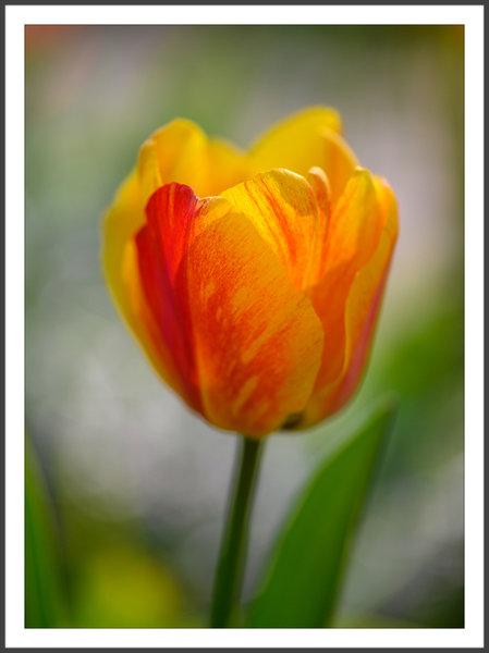 Tulpe 4.jpg