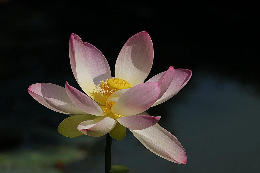 LotusblüteGrossmitnatHGSL2S100400_998x666.jpg