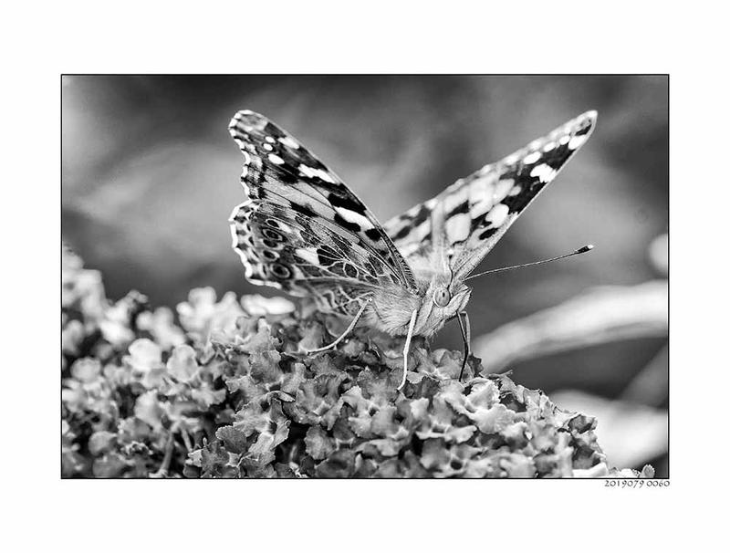 Schmetterling zuhause